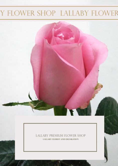 ดอกกุหลาบคุณหมิง ราคา
