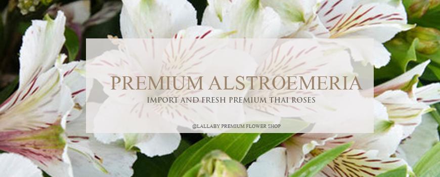 ดอกอัลสโตมีเรีย ราคา